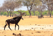Beautiful Sable Antelope With Oxpeckers On His Back With Zebra In The Background Standing On The Dry Yellow African Plains In Hwange National Park, Zimbabwl