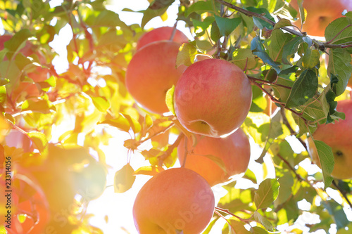 Fotomural Sun's rays shine through leaves on ripe apples in orchard