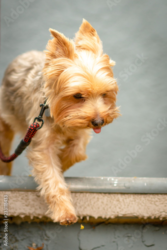 Fotografie, Obraz  Yorkshire Terrier Walking Down The Stairs