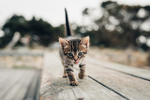 Striped Tabby Kitten Walks Across Board While Licking Nose