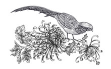Realistic Hand Drawing Of Pheasant And Chrysanthemum Isolated On White Background.