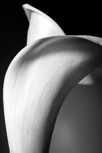 Abstracted Macro Shot Of A White Calla Lily On A Black Background.