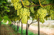 canvas print picture - Large ripe clusters of white table grapes on the vine.