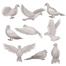 Flat Vector Set Of Dove. Bird With Small Head, Short Legs And Gray Feathers. Flying Creature. Wildlife And Fauna Theme