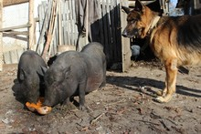 Vietnamese Pot-bellied Pig And...