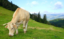 Grazing Cow On A Mountain Mead...