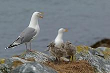 Seagull Family On Rocks