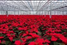 Indoor Red Poinsettia Flower Plants