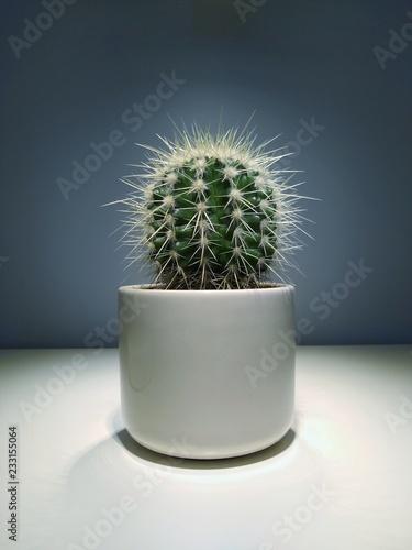 Duży kulisy kaktus w białej ceramicznej doniczce