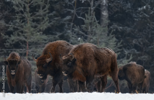 Valokuva  Two Great Wild Brown Bison (Wisent) Go Along At Winter Forest
