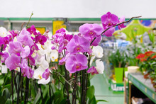Purple And White Orchids And O...