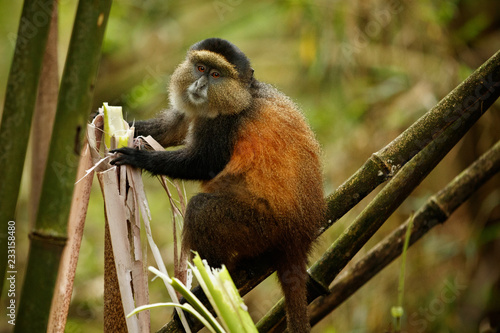Fotografia Wild and very rare golden monkey in the bamboo forest