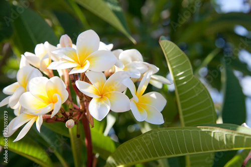 Blooming plumeria tree with white flowers