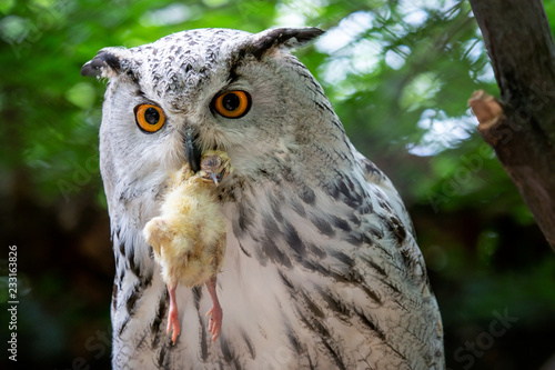 Staande foto Uil Siberian Eagle Owl with prey in the beak. Bubo bubo sibiricus, the biggest owl in the world.