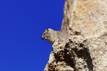 Rock Hyrax (Procavia Capensis) On A Cliff