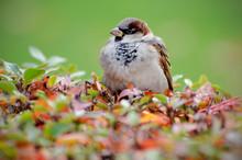 Sparrow On Bush
