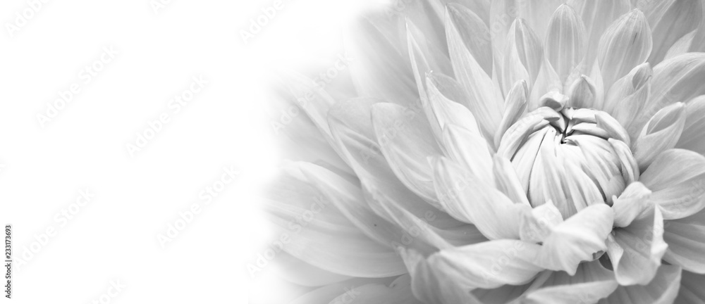 Fototapeta Details of blooming white dahlia fresh flower macro photography. Black and white photo emphasizing texture, contrast and intricate floral patterns in a white background wide banner panorama format.