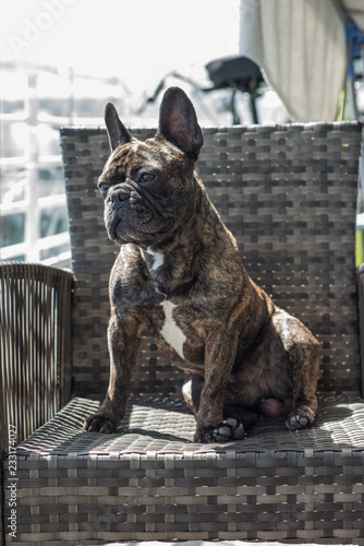 Tuinposter Franse bulldog French Bulldog Brindle color portraiture in a domestic background.