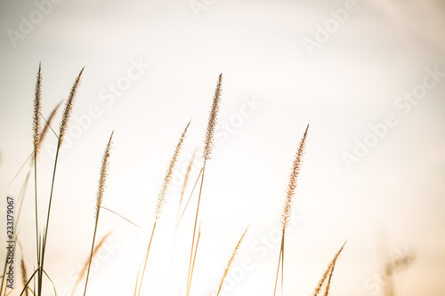 Papiers peints Herbe Wonderful landscape from the feather grass field in the evening sunset silhouette. serene feeling concept. countryside scenery atmosphere. image for background, wallpaper and copy space.