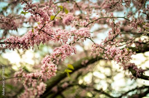 Staande foto Lente Purple Spring Blossom. Cercis Canadensis or Eastern Redbud