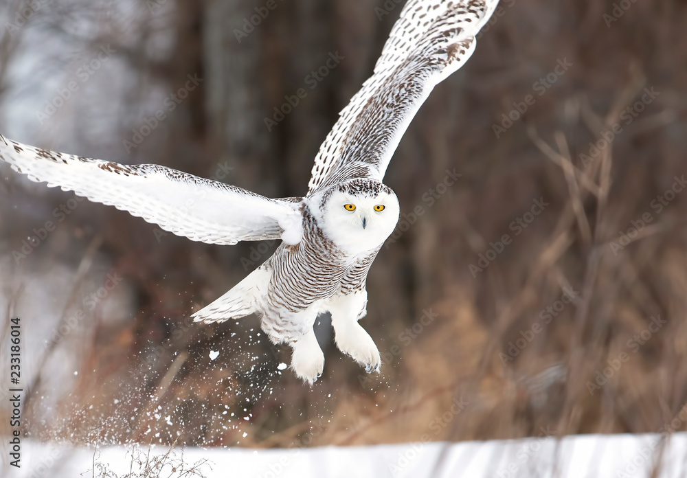 Snowy owl (Bubo scandiacus) taking off hunting over a snow covered field in Ottawa, Canada
