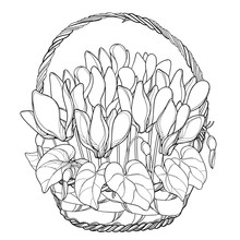 Vector Bouquet With Outline Cyclamen Or Alpine Violet Bunch, Bud And Leaf In Wicker Basket In Black Isolated On White Background. Contour Alpine Mountain Flowers For Spring Design Or Coloring Book.