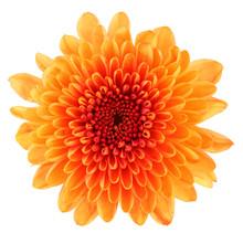 Wonderful Chrysanthemum (Chrysantheme, Daisy) Isolated On White Background, Including Clipping Path. Germany