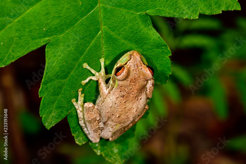 Cuban treefrog Canvas Print
