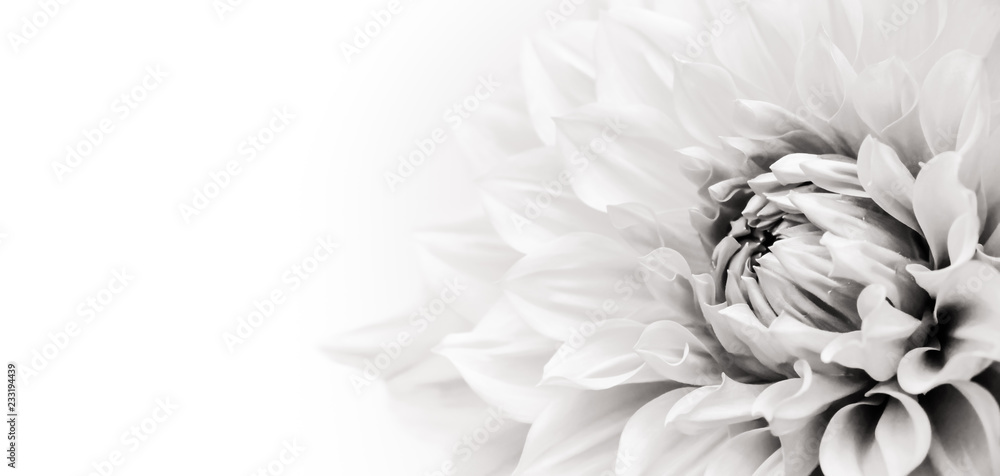 Fototapeta Details of blooming white dahlia fresh flower macro photography. Black and white photo emphasizing texture, contrast and intricate floral patterns in a white background wide banner panorama format