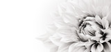 Fototapeta Kwiaty - Details of blooming white dahlia fresh flower macro photography. Black and white photo emphasizing texture, contrast and intricate floral patterns in a white background wide banner panorama format