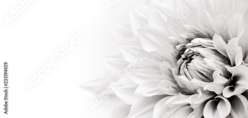 Details of blooming white dahlia fresh flower macro photography. Black and white photo emphasizing texture, contrast and intricate floral patterns in a white background wide banner panorama format