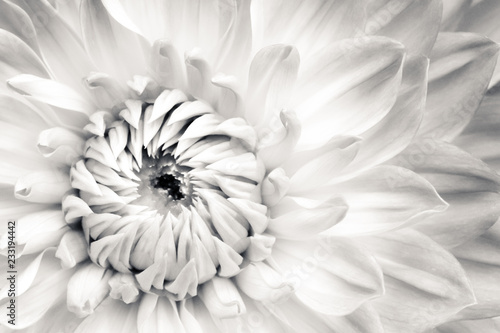 White dahlia fresh flower details macro photography. Black and white photo with flower head emphasizing texture, contrast and beautiful natural floral patterns.