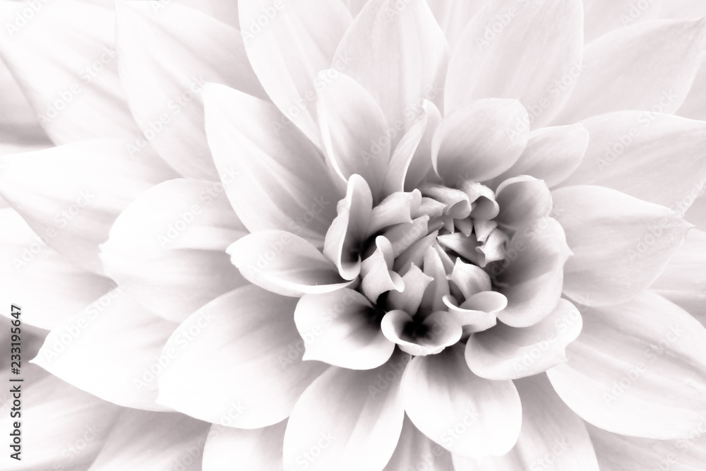 Fototapeta Details of white dahlia fresh flower macro photography. Black and white high key photo emphasizing texture, contrast and intricate geometric floral patterns.