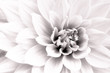 Details of white dahlia fresh flower macro photography. Black and white high key photo emphasizing texture, contrast and intricate geometric floral patterns.