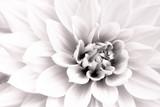 Szczegóły białej dalii świeżego kwiatu makro- fotografii. Czarno-białe wysokie zdjęcie podkreślające fakturę, kontrast i misterne geometryczne wzory kwiatowe. - 233195647