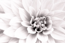 Details Of White Dahlia Fresh ...