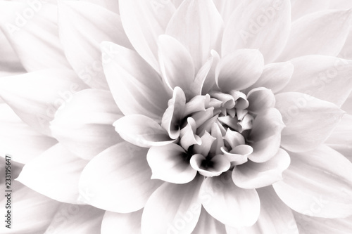 Foto op Plexiglas Dahlia Details of white dahlia fresh flower macro photography. Black and white high key photo emphasizing texture, contrast and intricate geometric floral patterns.