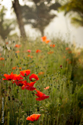 Poppy field in garden