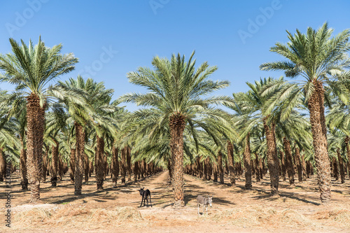 Photo Stands Roe Palm plantation