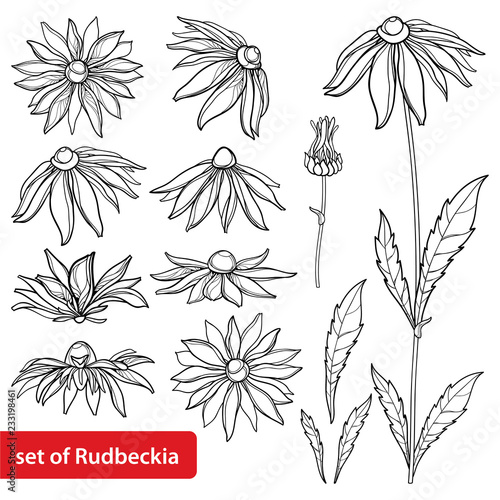Valokuvatapetti Vector set with outline Rudbeckia hirta or black-eyed Susan flower bunch, ornate leaf and bud in black isolated on white background