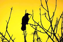 Silhouette Of A Raven On A Tre...