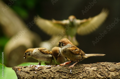 Fotobehang Vogel Philippine Maya Bird or Eurasian Tree Sparrow or Passer montanus perching on a tree branch