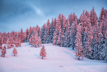 Pink Winter Sunrise Of Snow Co...