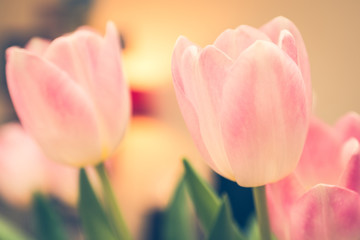 Fototapeta Tulipany pink and white tulips