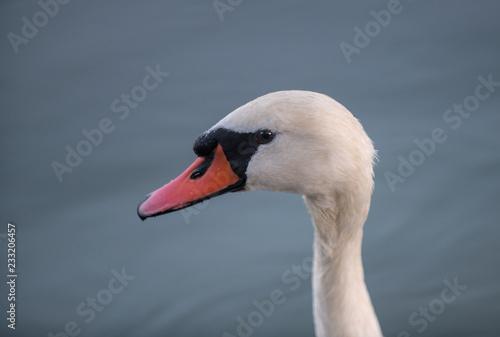 Keuken foto achterwand Zwaan Beautiful white swan