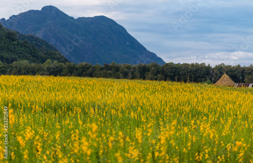 Yellow flower field known as sunn hemp and mountain background.