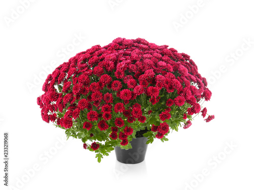 Carta da parati Beautiful chrysanthemum flowers in pot on white background