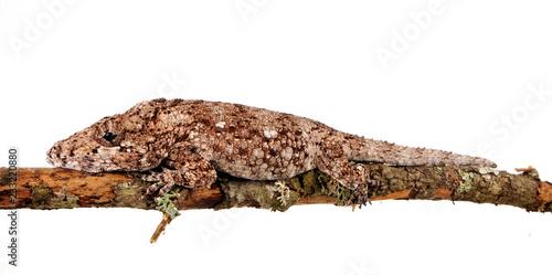 Falsches Chamäleon (Anolis barbatus) - Western Bearded Anole