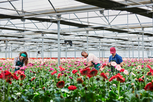 Billede på lærred Florists Examining Pink Gerberas Blooming At Greenhouse