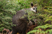 A Swamp Wallaby Feeds On The L...